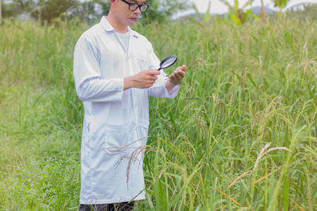 researcher is monitoring the quality of rice in the farm Stock Photo