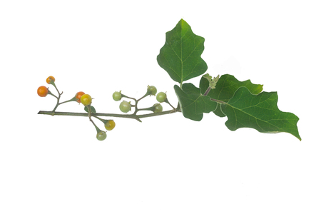 solanum indicum on white backgroun and it is a clipping path too. Stock Photo - 100982189