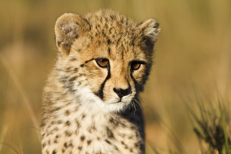 Cheetah cub close-up Stock Photo