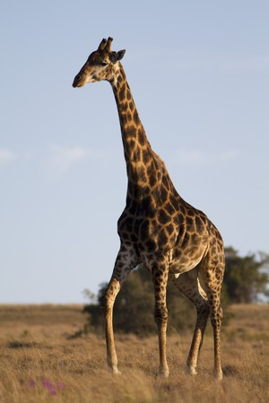 Giraffe walking photo