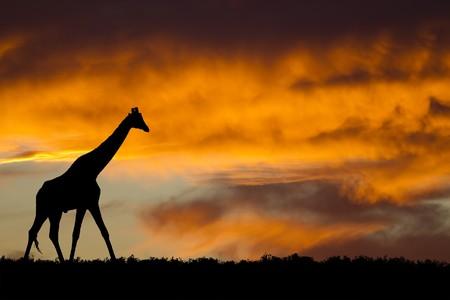 목가적 인 아프리카 야생 동물의 실루엣
