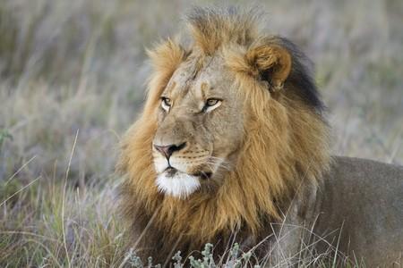Lion male observing grassland photo
