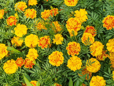 Marigold Field. like  so many Yellow flawers