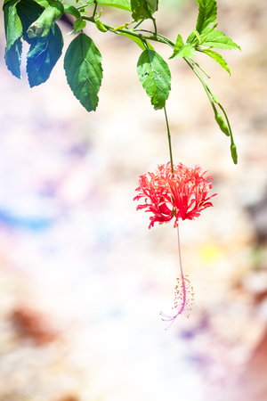 exotic flower: Exotic flower to Pangkor Island in Malaysia