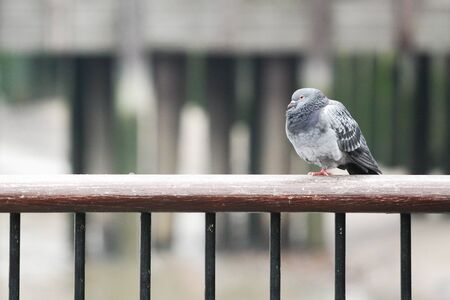 lonesome: Lonesome Dove sitting on one leg on the railing