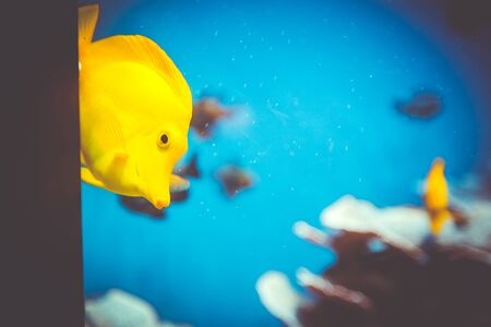 oceanographic: Yellow fish cautiously peeks out from behind a corner