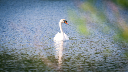 White mute swan floating on the lake Stock Photo