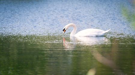 White mute swan Stock Photo - 113295808