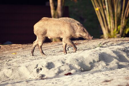 jabali: Cerdo salvaje en una playa de arena en la isla de Pangkor Foto de archivo
