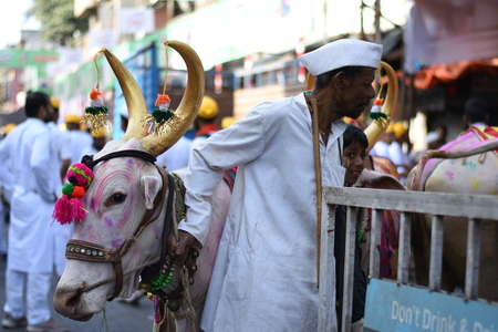 colourful Bullocks used for religious ceremony with Handler
