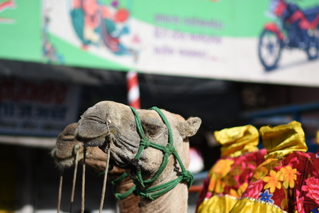 Decorated Camels on Street