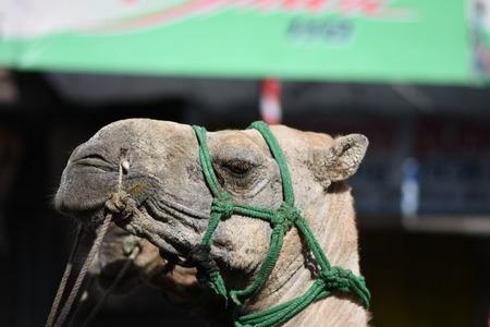 Camels on Street