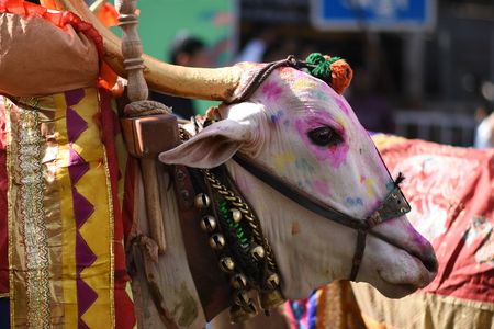 Colourful Bullocks used for religious ceremony Stock Photo