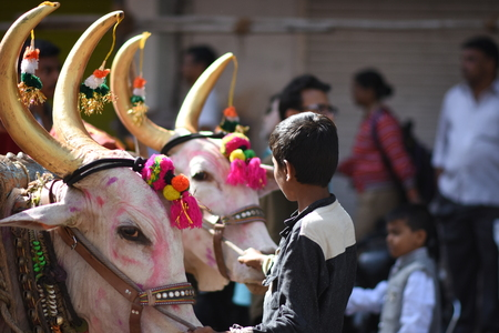 Decorated Bulls used for religious procession with Farmer Boy