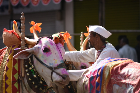 Decorated Bulls used for religious procession with Farmer