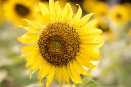 Close-up zon bloem geel concept. Stockfoto