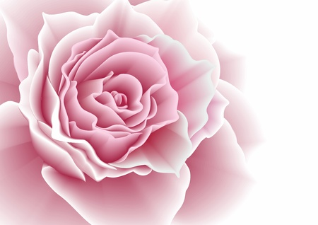 Pink rose illustration  illustration