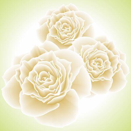 White roses illustration Stock Illustration - 13037185