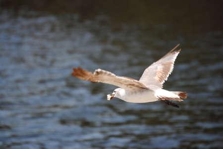 bird flying with food over ocean