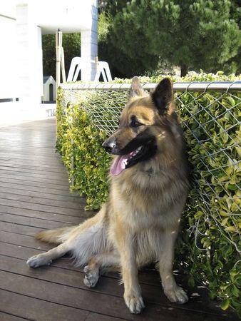 Beautiful Sheep-dog in a summer garden Stock Photo - 8193415