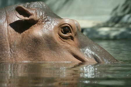 Close up of hippopotamus head in water, large mammal of a wild animal.