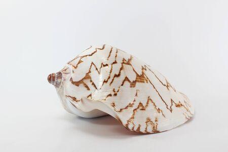 Marine sea shell on white background.