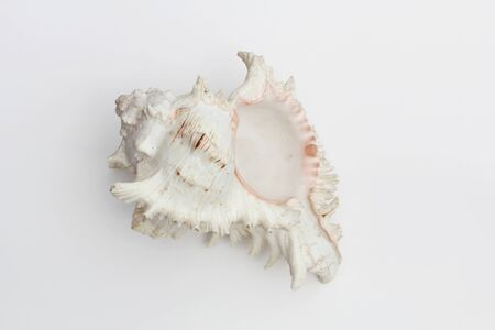 Conch shell, marine sea shell on white background.