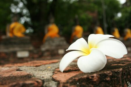 Beautiful white FrangipaniPlumeria flower fall on the floor with blurred a row of old Buddha statue in temple background Фото со стока