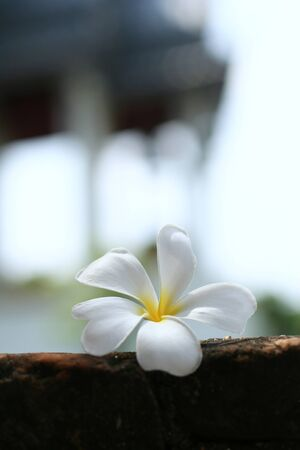 Beautiful white FrangipaniPlumeria flower on the floor with blurred background