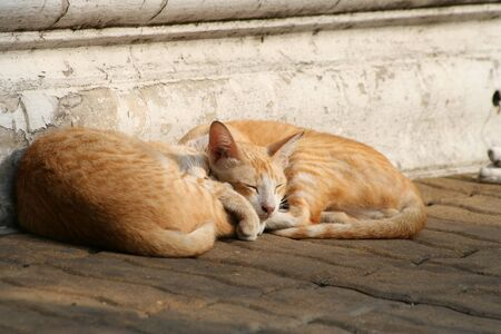Couple orange Thai ginger cats are sleeping on the floor in afternoon