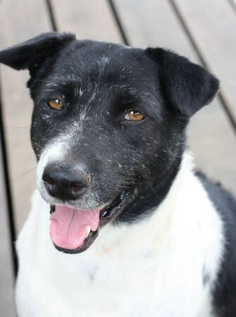 Thai black and white stray dog look at camera and smile