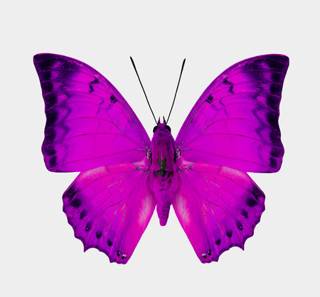 pink butterfly: Beautifu Pink Butterfly isolated on white for Valentines scheme Stock Photo