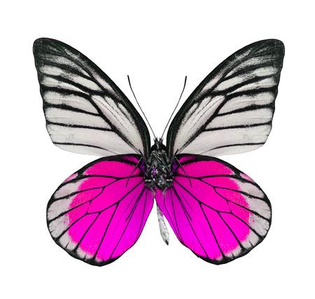 papillon rose: Belle rose et blanc papillon isolé sur blanc Banque d'images