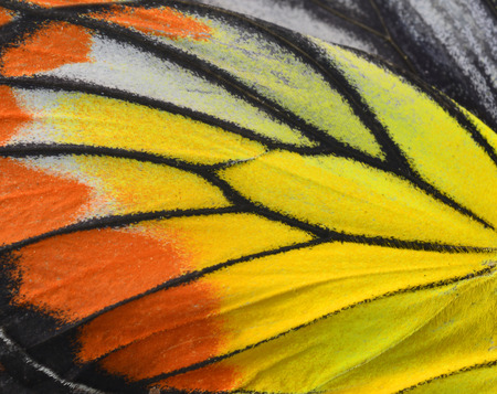 butterfly wings: Close up of Painted Jezebel Butterflys wings in great texture Stock Photo