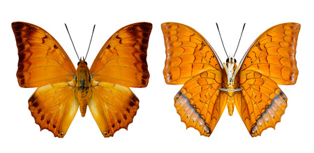 rajah: Mariposa malayo Rajah tanto superior e inferior de perfil de ala en color natural aislado en blanco