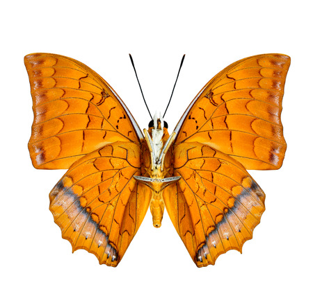 rajah: Malay Rajah butterfly lower wing profile in natural color isolated on white  Stock Photo