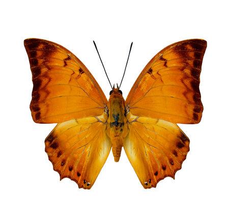 rajah: Mariposa malayo Rajah perfil del ala superior en color natural aislado en blanco
