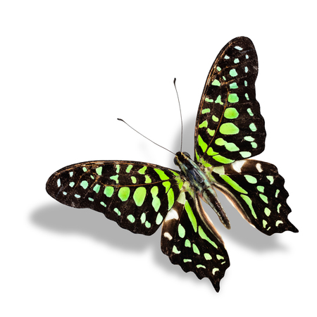 Tailed Jay Butterfly flying isolated on white  with soft shadow photo