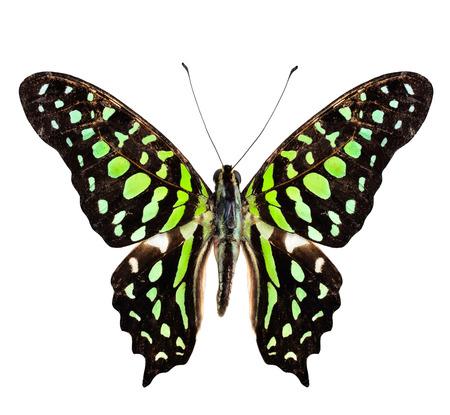 green jay: Jay mariposa de cola, el verde manchado mariposa, puramente aislado en blanco