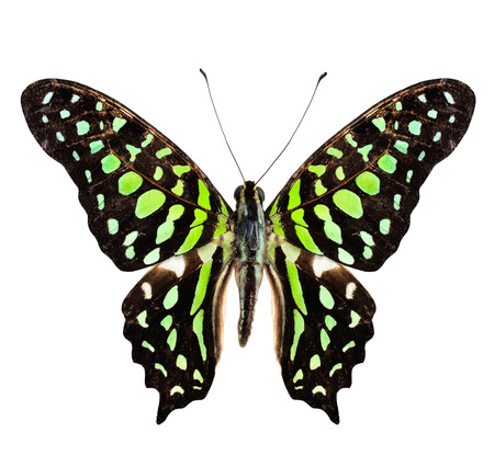 Tailed Jay Butterfly, the green spotted butterfly, purely isolated on white  photo
