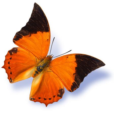 rajah: The Common Tawny Rajah Vuelo de la mariposa con la sombra suave aislado en el fondo blanco