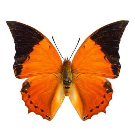 rajah: El perfil del ala superior Com�n Tawny Rajah mariposa en color natural aislado en blanco