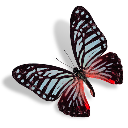 Beautiful Blue and Red Flying Butterfly isolated on white background photo