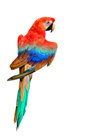 Nice back feathers profile of Colorful Macaw bird isolated on white background photo