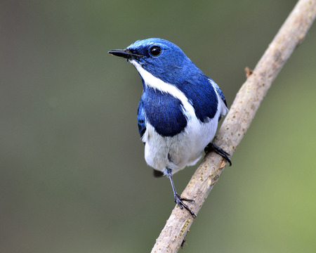 ultramarine blue: Beautiful Blue Bird, Ultramarine Flycatcher, standing on the branch with lovely look (ficedula superciliaris) Stock Photo