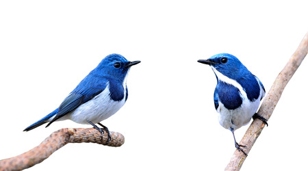 ultramarine: Beautiful Blue Birds, Ultramarine Flycatchers isolated on white background Stock Photo
