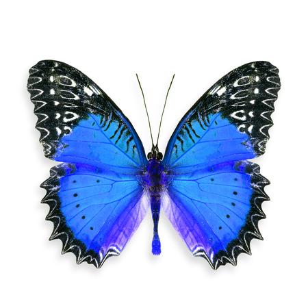 biblis: Beautiful Blue Butterfly, Colourful Butterfly