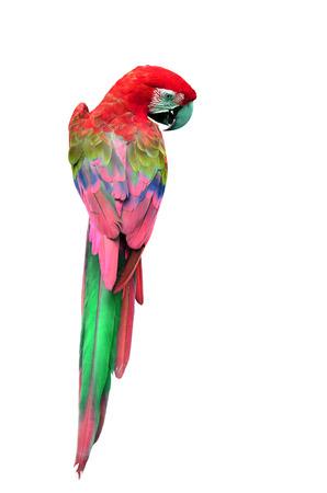 カラフルな赤コンゴウインコ背面にプロファイルの鳥、オウムの分離に白い背景