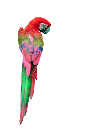 Colorful Red Macaw bird in back profile, parrot isolated on white background Reklamní fotografie