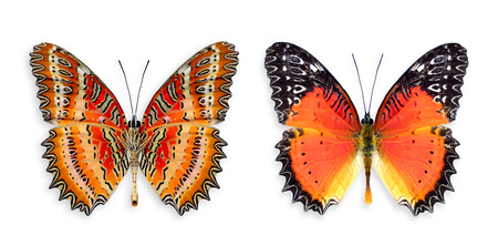 biblis: Red Lacewing Butterfly both upper and lower wings profile in natural color Stock Photo